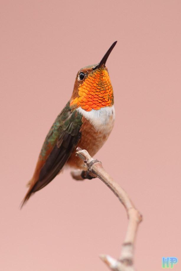 Allen's Hummingbird 080513-3