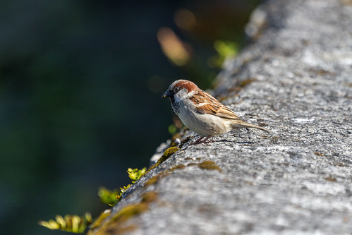 morning ireland irish cute green bird galway sunshine grey seaside moss bokeh wildlife sparrow browneyes housesparrow passerdomesticus birdwatching kinvara irishwildlife irishbird natureinireland