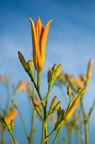 Lily, Daylilies, Budding, Buds, Blue Sky, Flowers