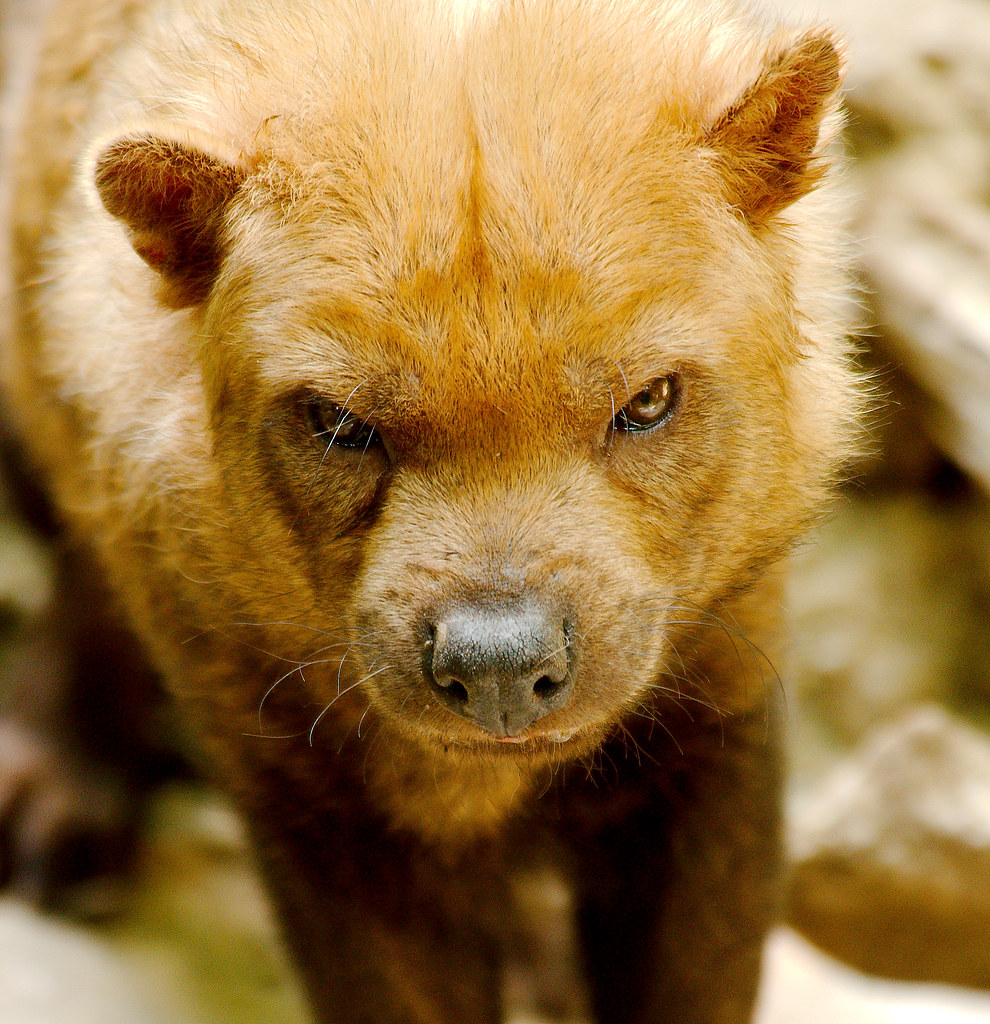 Bush Dog (Speothos venaticus)_14
