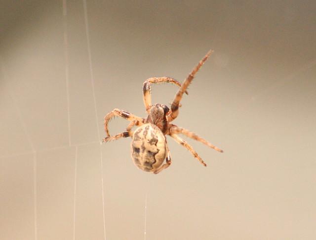 orb-weaver spider 07