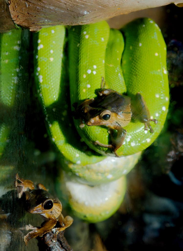 Green Tree Python (Morelia viridis) and Borneo Eared Frog (Polypedates otilophus)_2