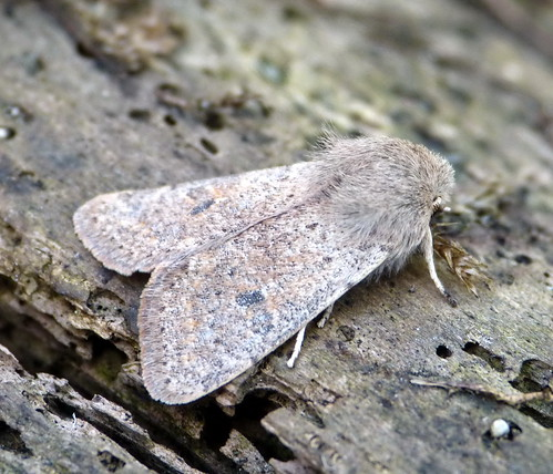 Small Quaker Orthosia cruda Tophill Low NR, East Yorkshire March 2014