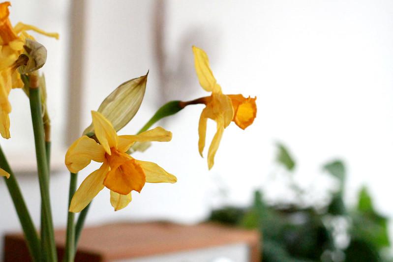 dried daffodils