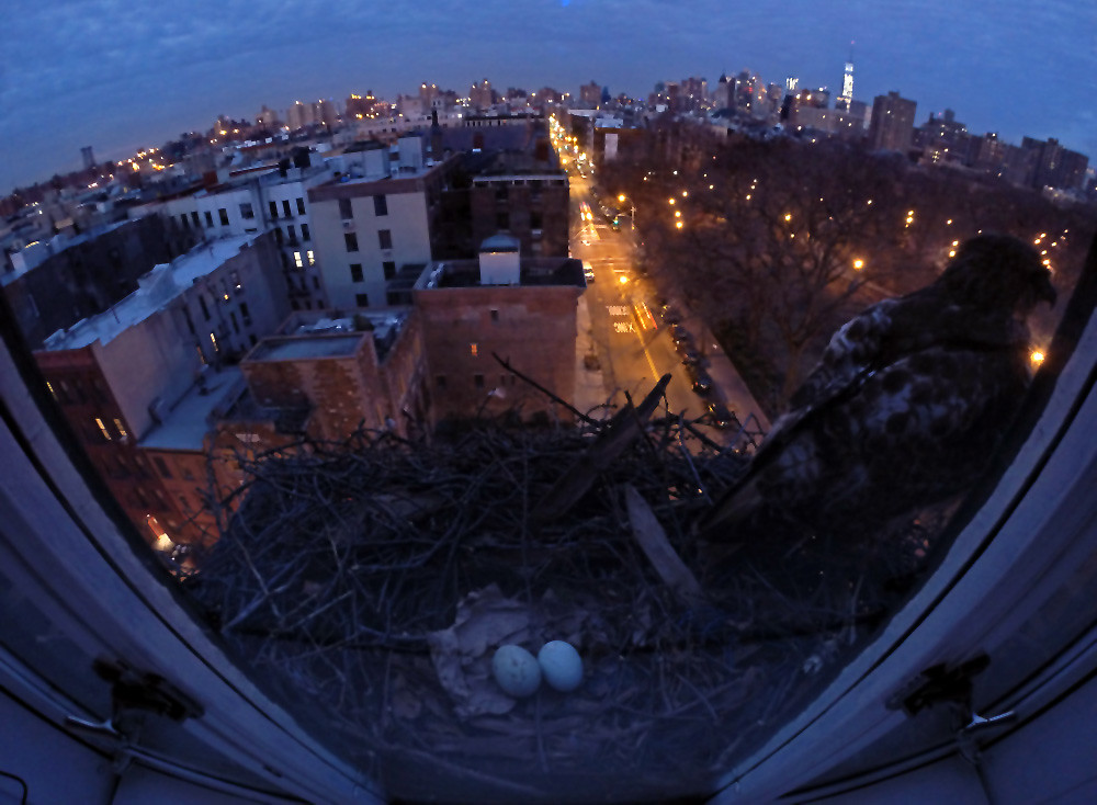 A second egg for the Tompkins Square hawks