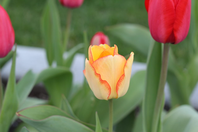 tulips by replicate then deviate
