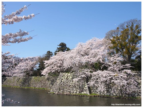 Cherry blossoms & blue sky #05