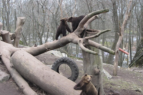 3 small bears play on a log structure that has a tire swing