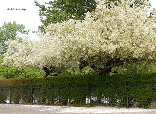 A Hedge, a Fence and Trees in Full Blossom