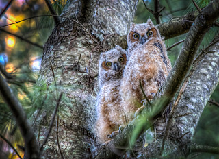Great Horned Owl Baby Chicks Sunset
