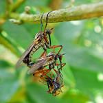 Insecten aan het paren.