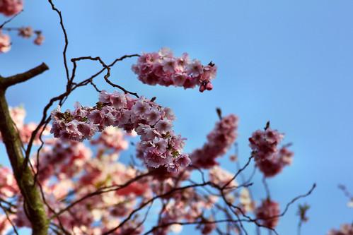 Frühlingsboten auf Amrum | April 2014