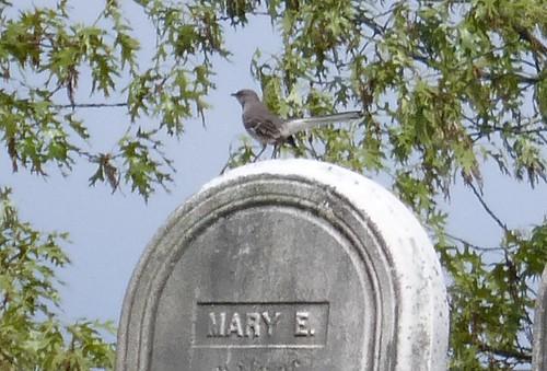 Mockingbird on gravestone