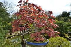 Jetzt noch größer - der japanische Bonsai-Garten in Ferch