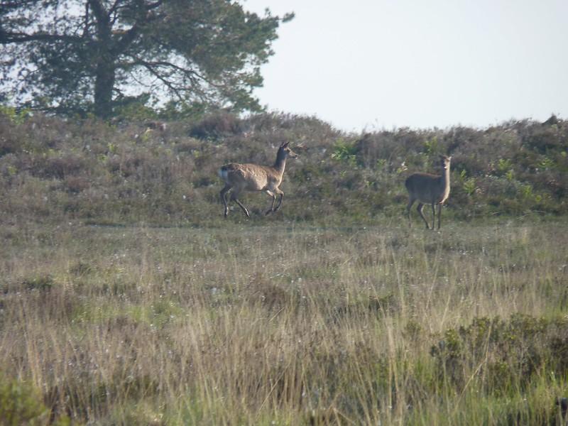 Sika Deer - Dorset
