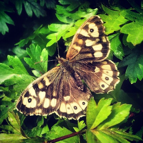 #SpeckledWood #butterfly #Lincolnshire