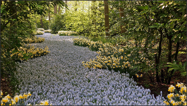 Muscari River in Keukenhof