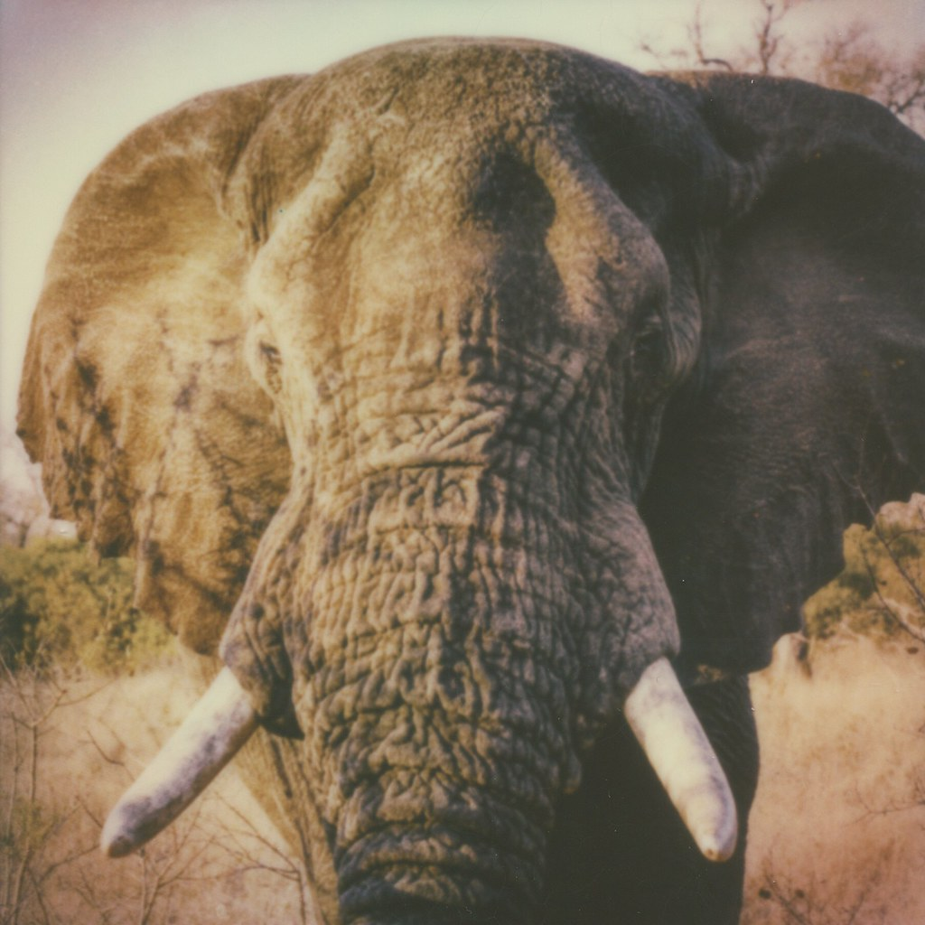 """Big Five"" #3: Elephant"