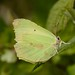 Small photo of Brimstone