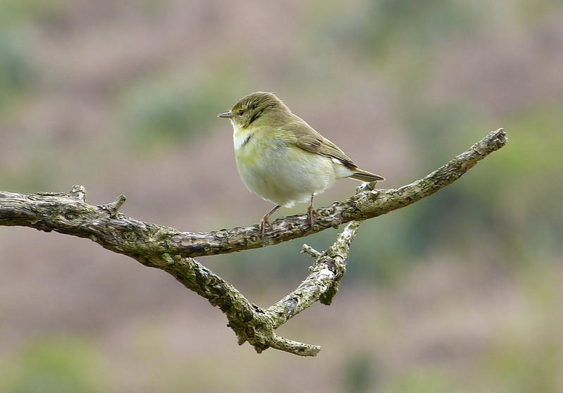 P1070682_2 - Willow Warbler, Cefn Drum
