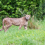 Leopard at Dartmoor Zoo