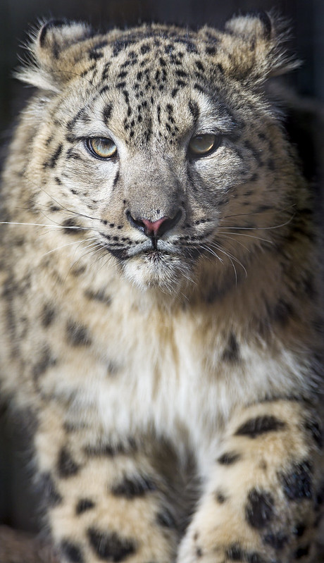 Snow leopard cub coming to me IV
