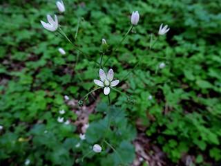 Saxifraga rotundifolia=Saxifrage à feuilles rondes
