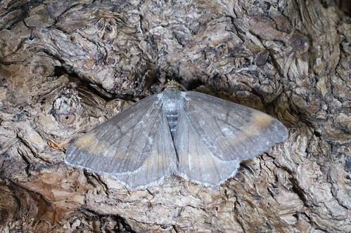 Tawny-barred Angle (Macaria liturata f. nigrofulvata)