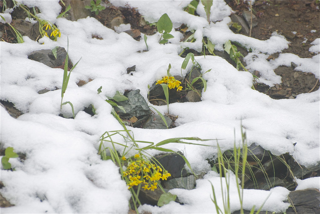 Groundsel in June snow