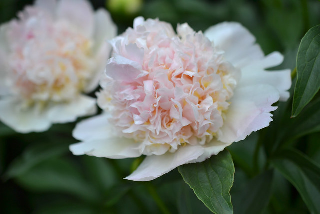 Paeonia lactiflora 'Top Brass' (herbaceous peony) in the Plant Family Collection. Photo by Morrigan McCarthy.