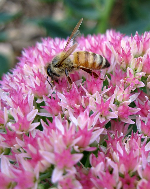 autumn joy sedum pollinator - bee