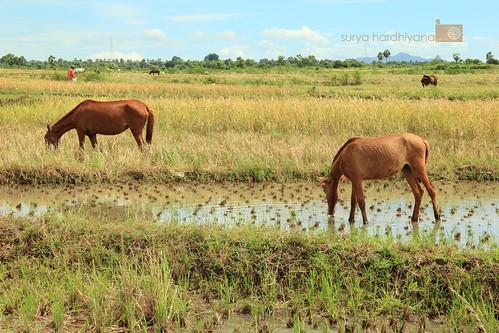 Kuda di Janeponto