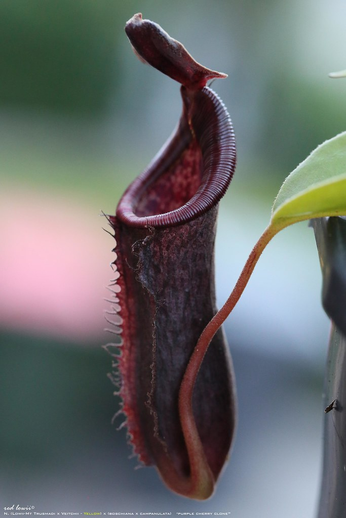 Nepenthes Lowii