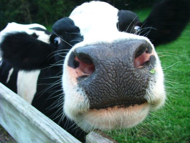 vacas diarioecologia