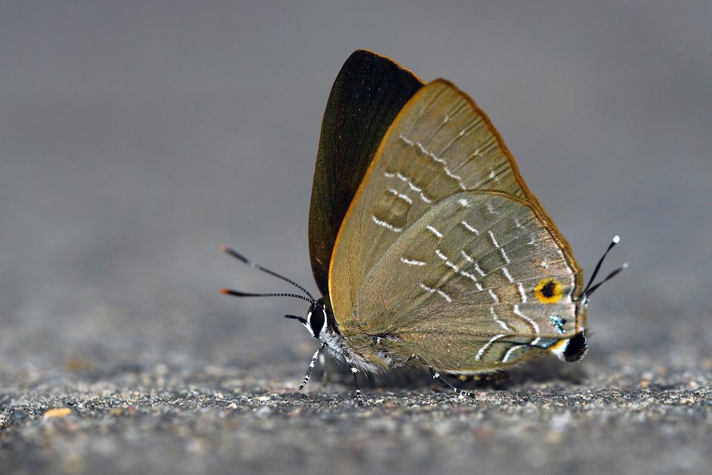 燕灰蝶屬燕灰蝶14S101