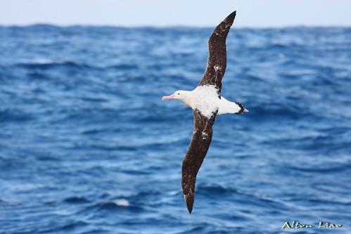 漂泊信天翁Wandering Alabatross(圖片來源:農委會漁業署)
