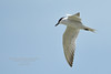 Sterne hansel - Gelochelidon nilotica (Domaine Des Oiseaux, Ariège) 08 juin 2014 #1 by ÇhґḯṧtÖphε