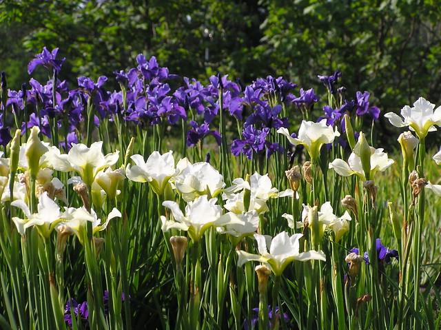Iris sibirica 'Dreaming Yellow' & 'Soft Blue', Tallinn Botanic Garden