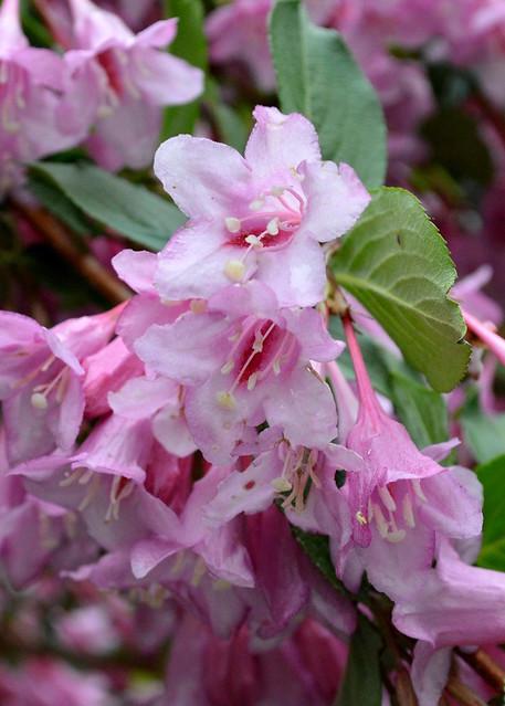 Weigela Blossoms 2014