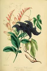 Ipomoea lobata and Heliotropium voltaireanum - circa 1849