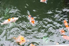 carp(0.0), fish(1.0), fish(1.0), fish pond(1.0), koi(1.0), goldfish(1.0),