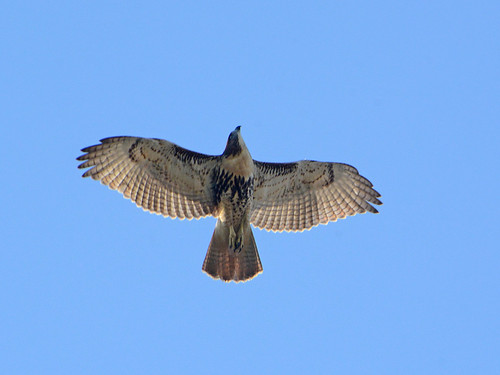 Cathedral Juvenile Hawk - 3626