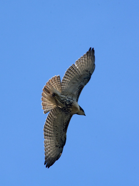 Cathedral Juvenile Hawk - 3613
