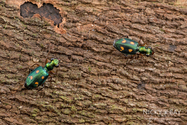 Ground Beetles (Pericalus sp.) - DSC_1981