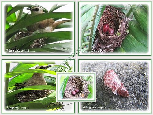 Pycnonotus goiavier (Yellow-vented Bulbul) nesting on Macarthur Palms at our backyard in May 2014