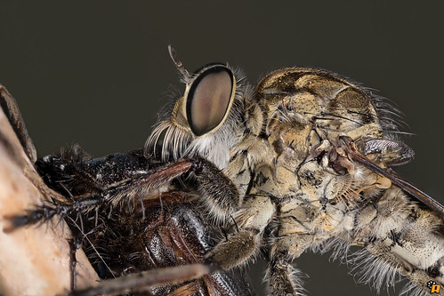 Robber Fly - Asilidae Machimus sp.