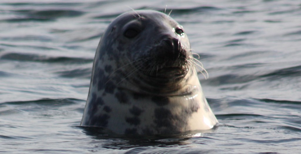 Isle of May close up grey seal