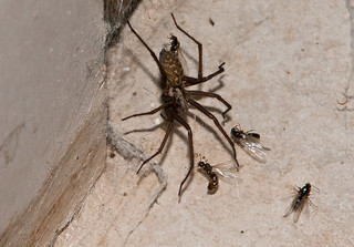 House Spider_Flying Ants_220714