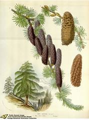 larch, conifer, branch, pine, leaf, tree, produce, conifer cone, fir, spruce, twig,