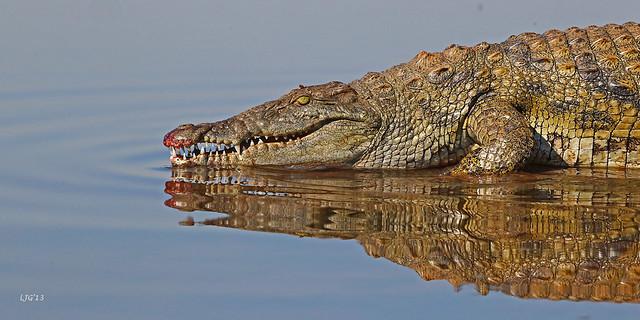 African Morning Croc